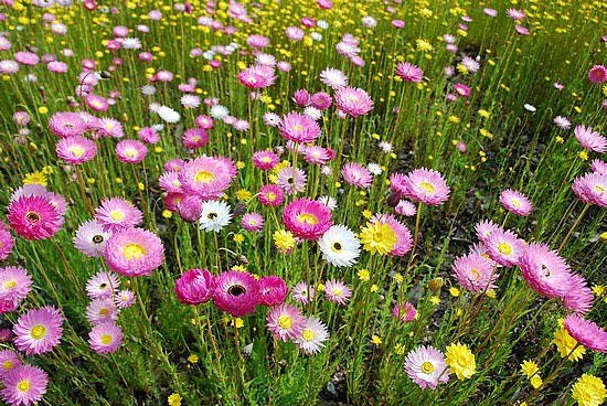 Wildflowers abound in toodyay western australia mightylinksfo Image collections